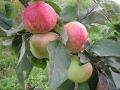 Яблочный спас (3х)